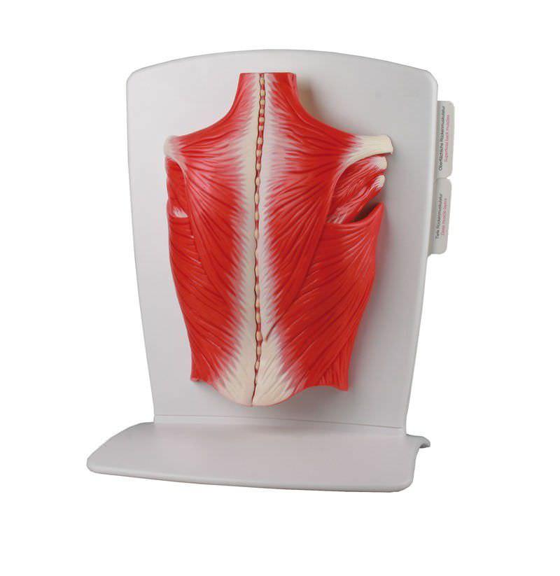 Modelo anatómico músculo / espalda / de formación - M290 - Erler ...
