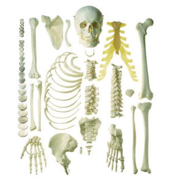 Modelo anatómico de esqueleto / de formación / desarticulado - QS 41 ...