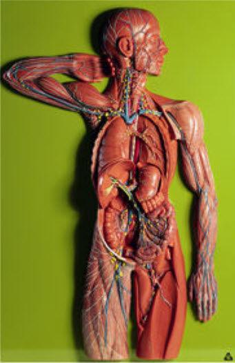 Modelo anatómico sistema linfático / de formación - HS 19/1 - SOMSO