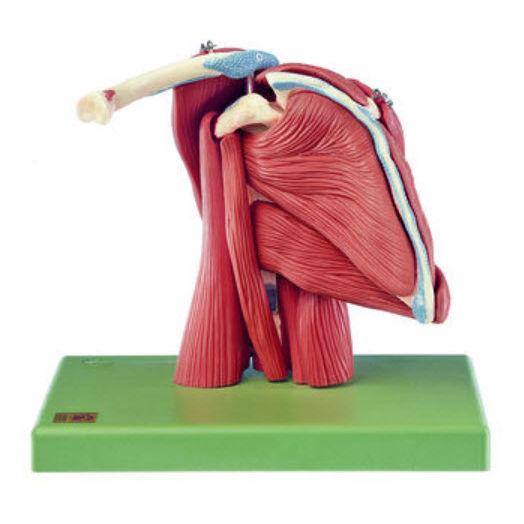 Modelo anatómico músculo / hombro / de formación - QS 55/6 - SOMSO