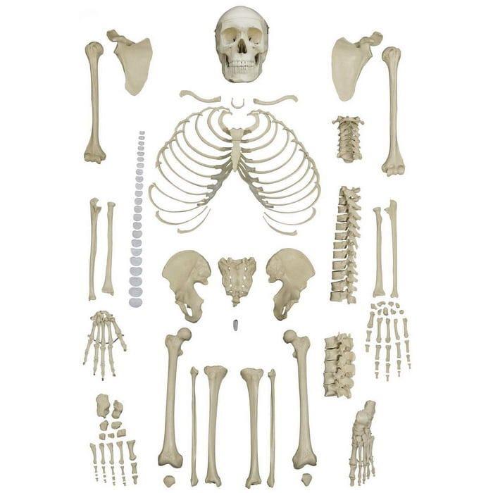 Modelo anatómico de esqueleto / de formación / desarticulado - A202 ...
