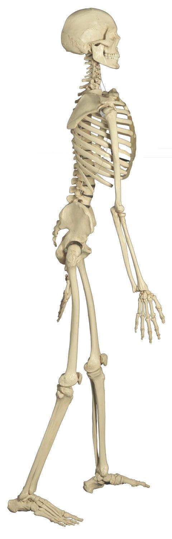 Modelo anatómico cuerpo entero / de esqueleto / de formación ...