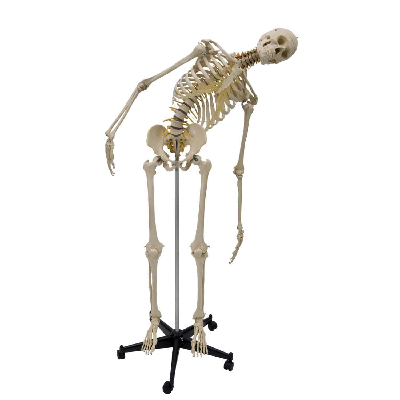 Modelo anatómico de esqueleto / de formación / articulado / con ...