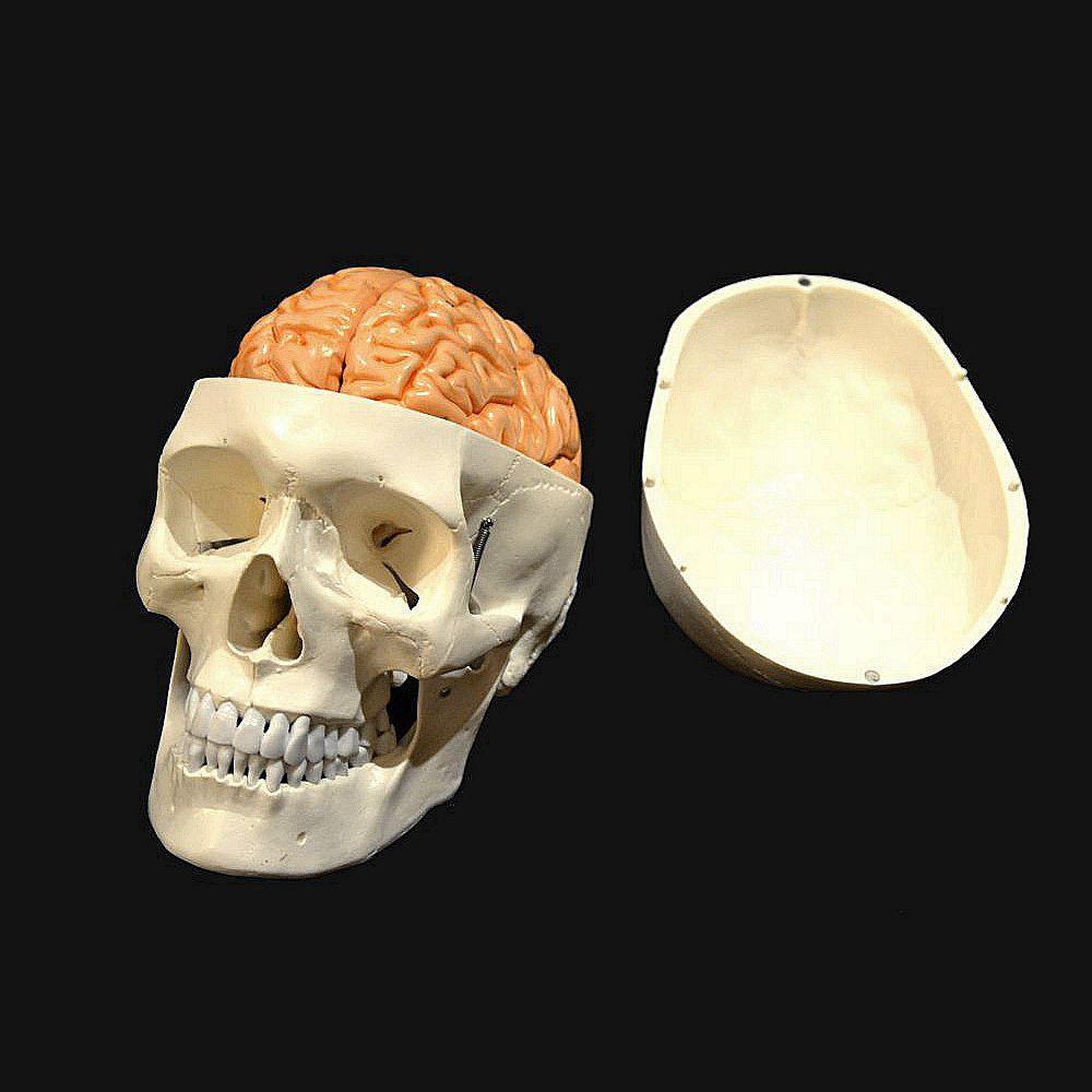 Modelo anatómico cráneo / cerebro / de formación / articulado ...