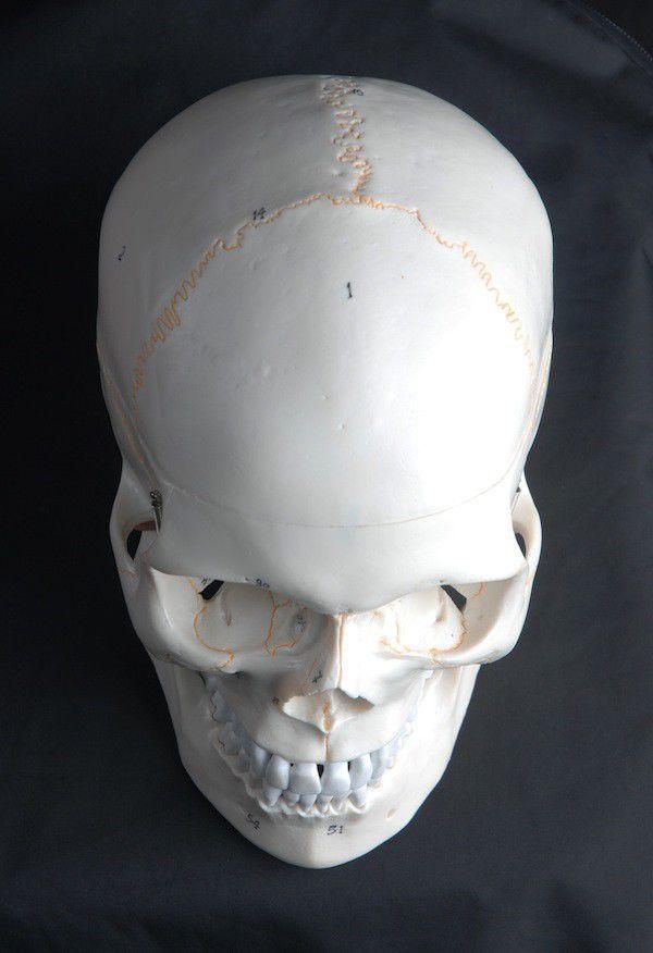 Modelo anatómico cráneo / de formación / para sutura / articulado ...