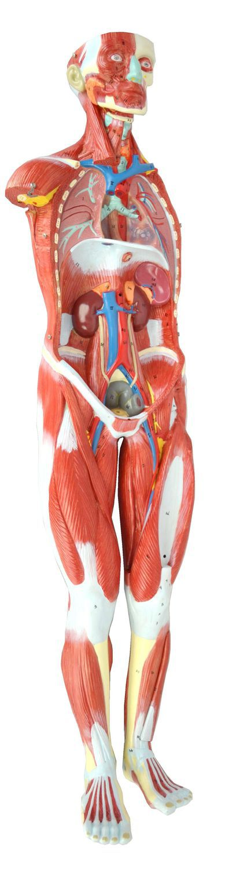 Modelo anatómico muscular / cuerpo entero / de formación ...