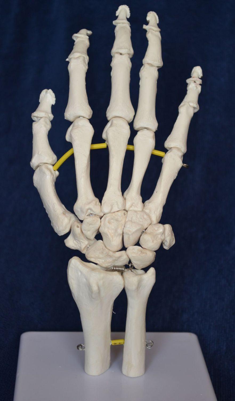 Modelo anatómico mano / de esqueleto / de formación / flexible ...