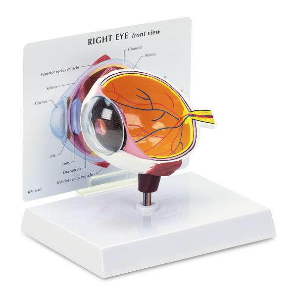 Modelo anatómico de ojo / de formación - SB27236 - Nasco