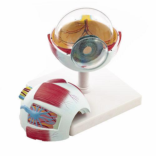Modelo anatómico de ojo / de formación - H130036 - HeineScientific®