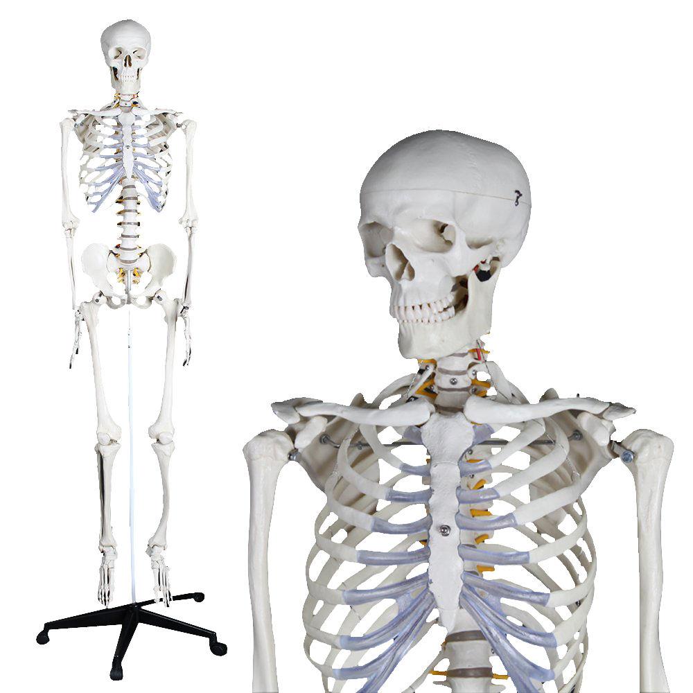 Modelo anatómico de esqueleto / de formación / articulado - YA/L011 ...