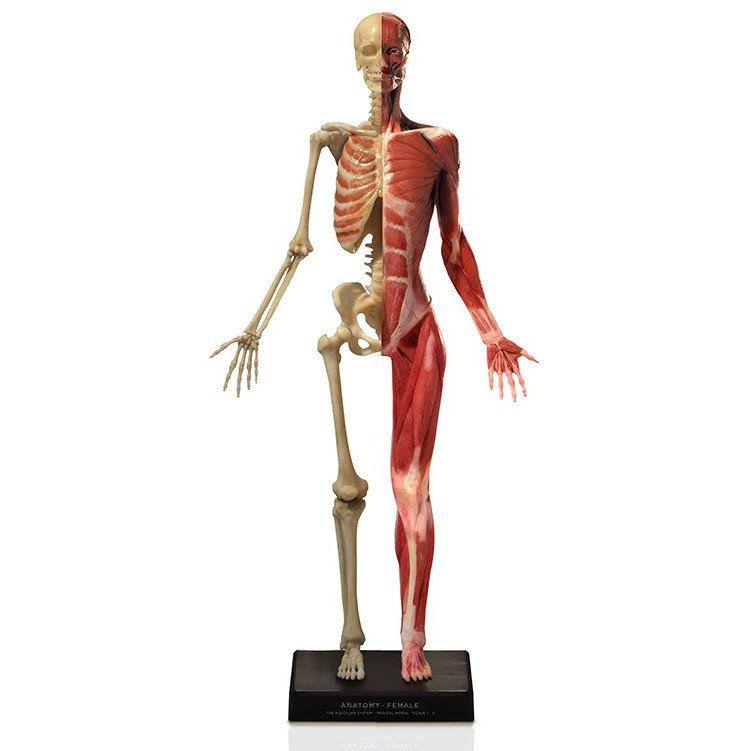 Modelo anatómico muscular / de esqueleto / cuerpo entero / de ...