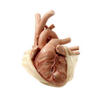 modelo anatómico corazón / para cirugía cardíaca / para cirugía torácica / infantil