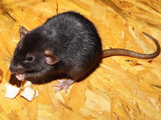 Las ratas parapléjicas caminan y recuperan la sensación después del tratamiento de la célula madre