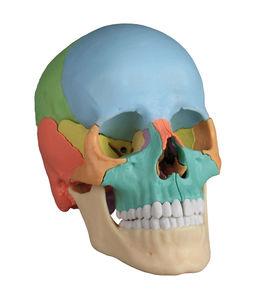 modelo anatómico cráneo / de formación / masculino