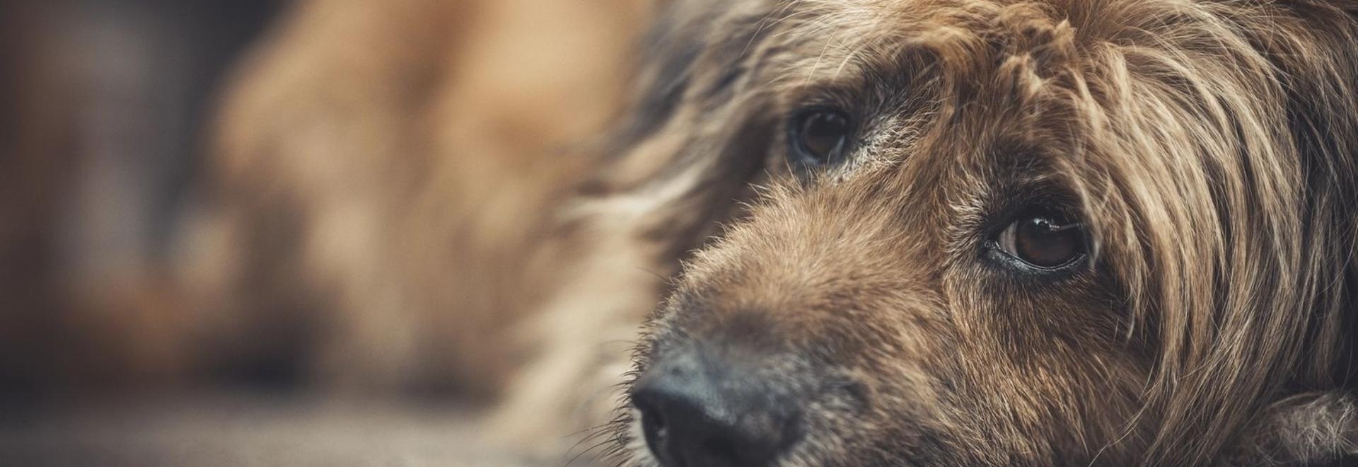 La FDA aprueba condicionalmente el primer tratamiento oral para el linfoma canino
